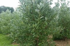 Magnolias Virginiana