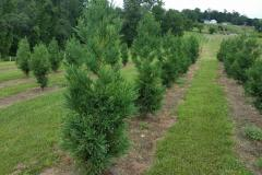 Young Block of Cryptomeria's