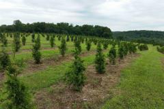 New Green Giants Plantings