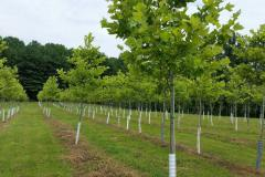 "Sycamore Bloodgood Trees 2-2.5"""