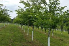 """Yoshino Cherry Trees 2-2.5"""" cal."""